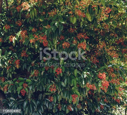 leaves and young berries of Ilex Rotunda tree growing on Jeju island