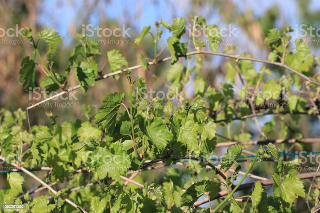Leaves and young grapes of vine grape in spring royalty-free stock photo