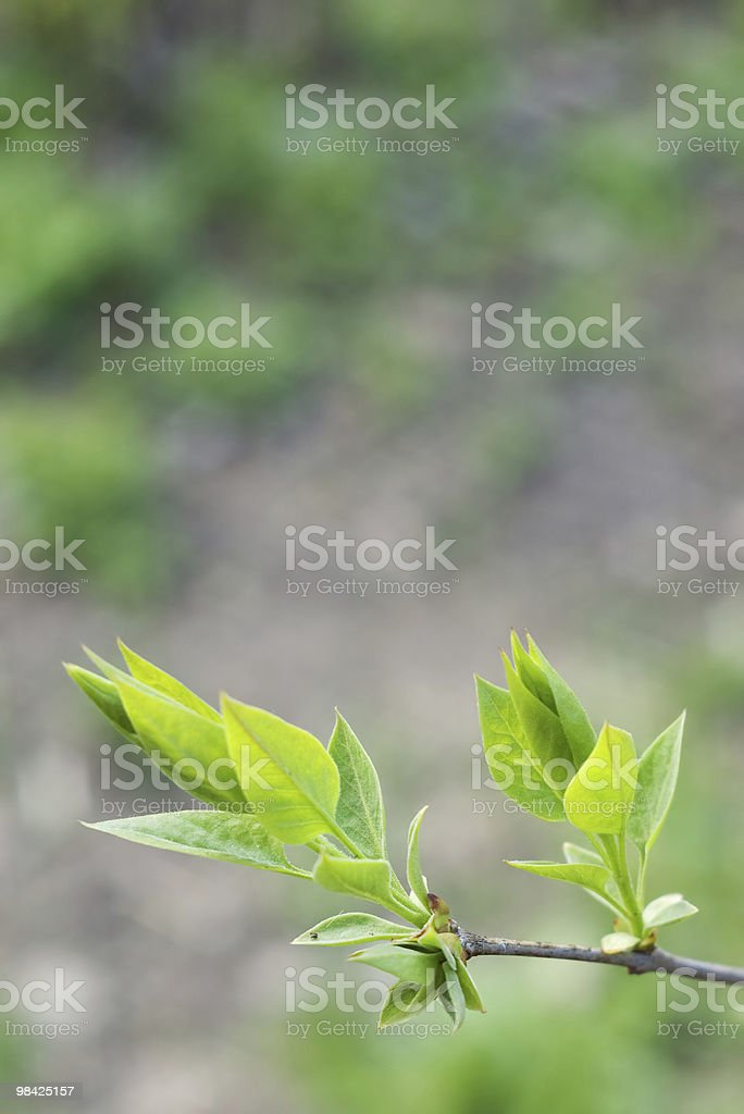 leaves blossoming out of buds royalty-free stock photo