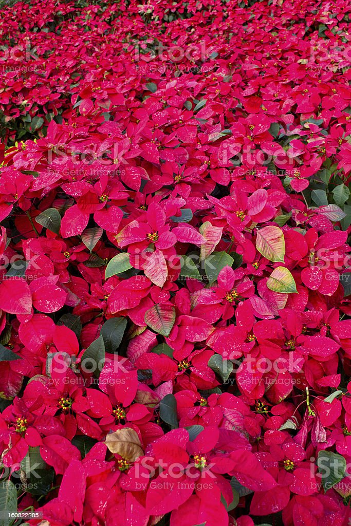 Leaves - christmas flower royalty-free stock photo