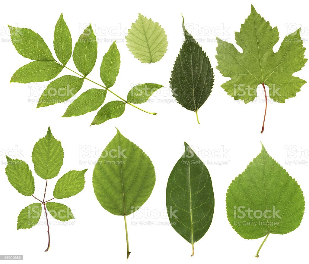 Leaves collection royalty-free stock photo