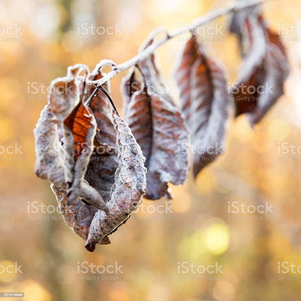 Leaves covered in hoar frost at sunrise photo libre de droits