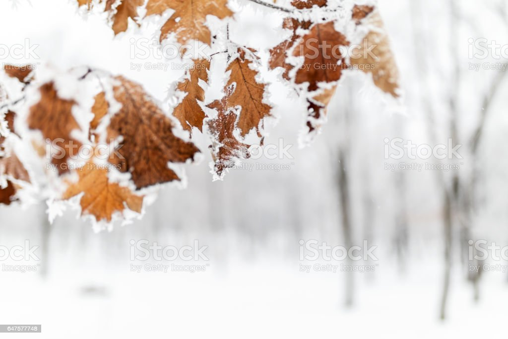 Leaves covered with frost stock photo