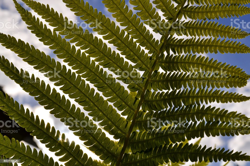 Leaves fern from below on a sky background stock photo