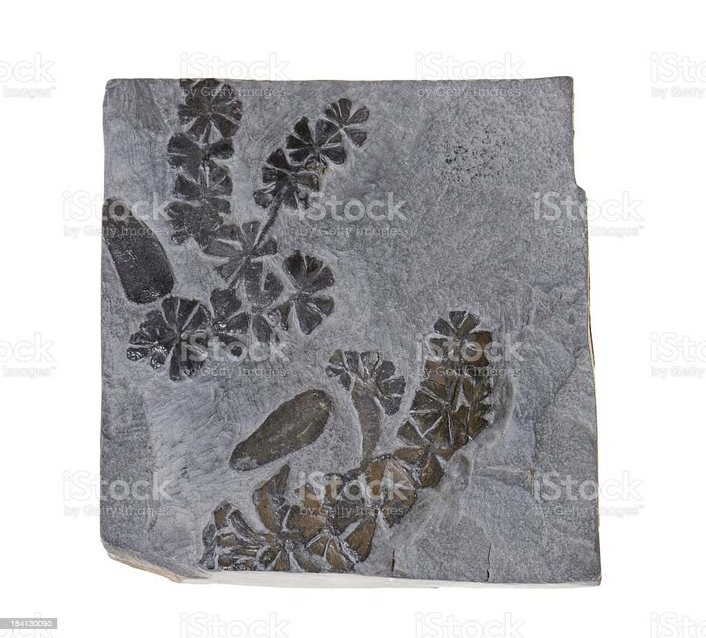 Leaves fossil on white background stock photo