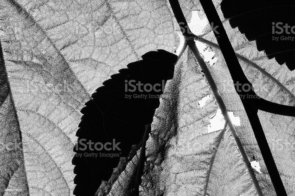 Leaves from a Mulberry Tree in full sun, high contrast stock photo