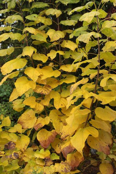 blätter goldgelb catalpa im herbst - trompetenbaum stock-fotos und bilder