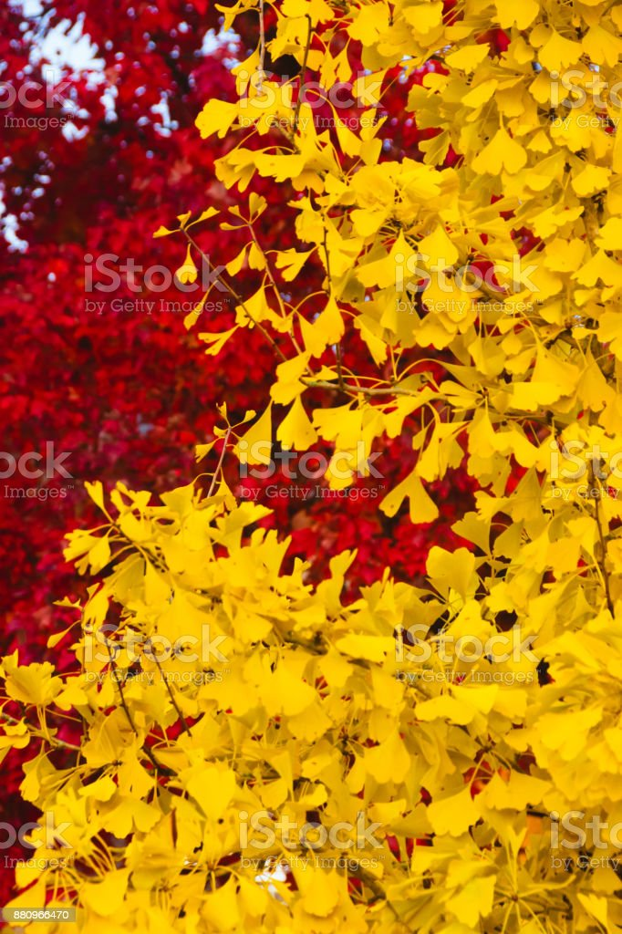 Leaves in Solid Red and Yellow stock photo