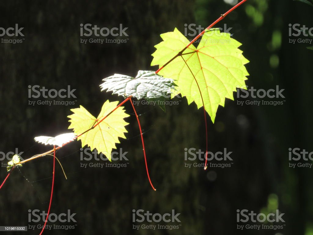 Leaves in Sunlight stock photo