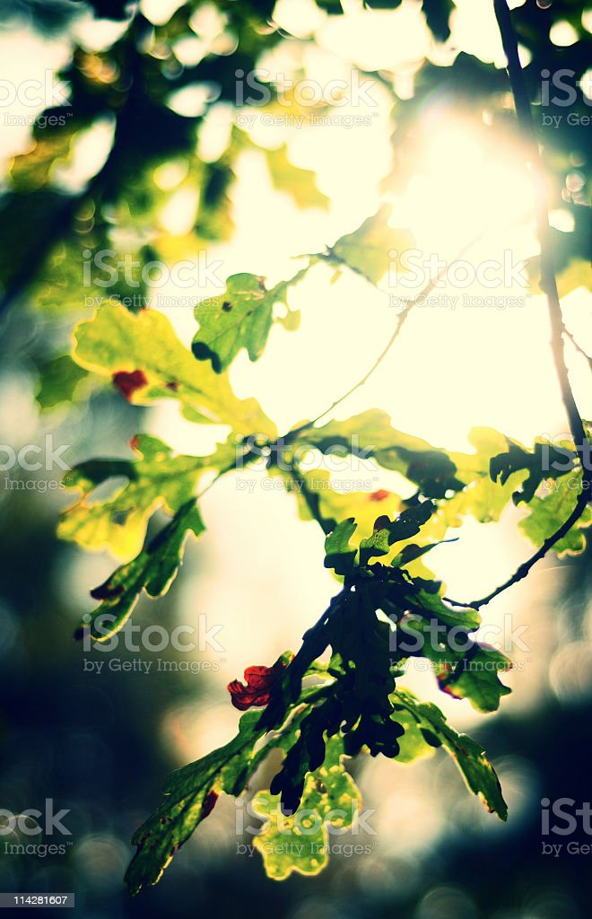 Leaves in Sunlight royalty-free stock photo