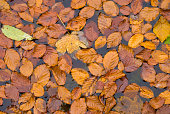 Autumn leaves floating on water surface