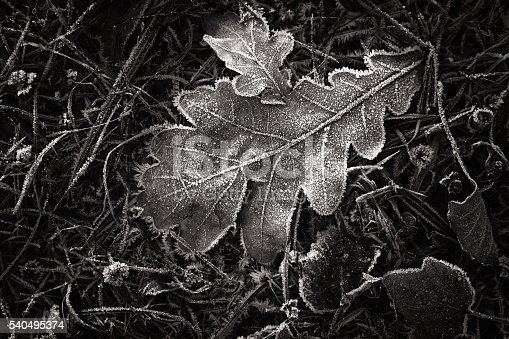 istock Leaves in the frost 540495374