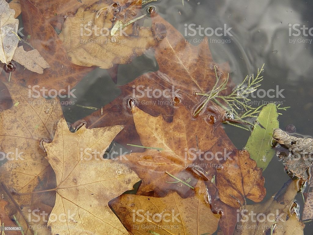 Leaves in water royalty-free stock photo