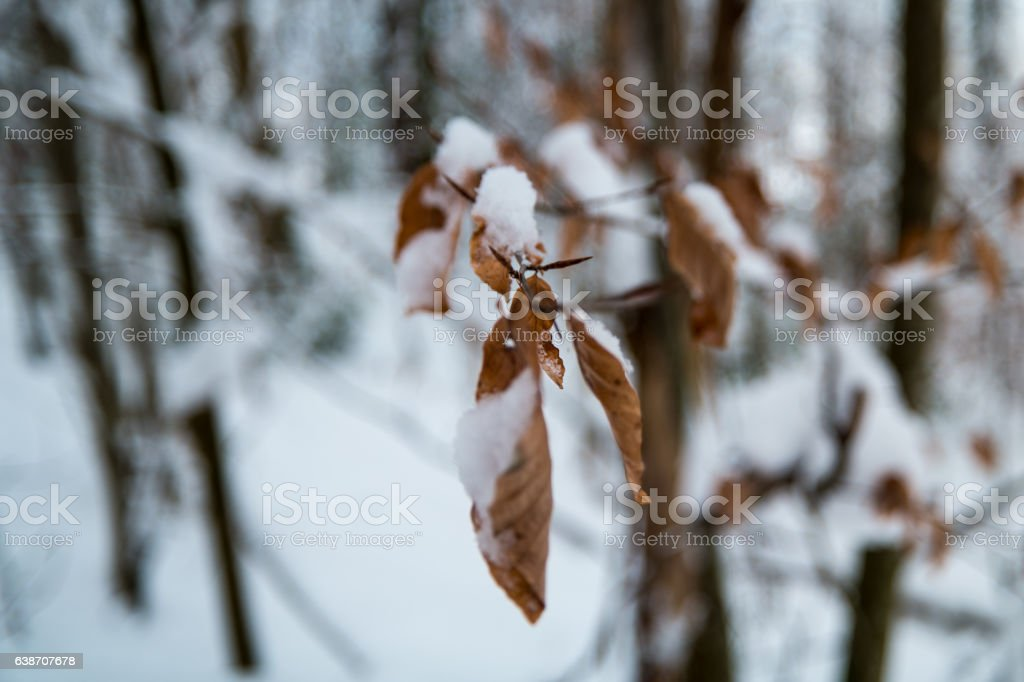 Leaves in winter covered in snow – Foto