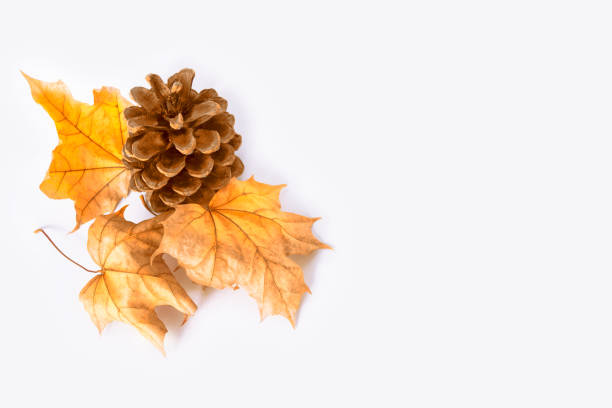 leaves. indian summer. pinecone - falling stock pictures, royalty-free photos & images