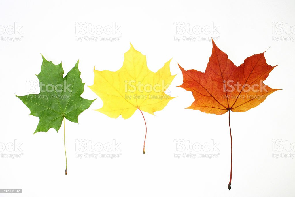 leaves isolated royalty-free stock photo