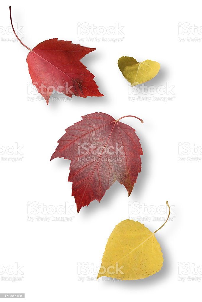 Leaves Isolated with Clipping Path royalty-free stock photo