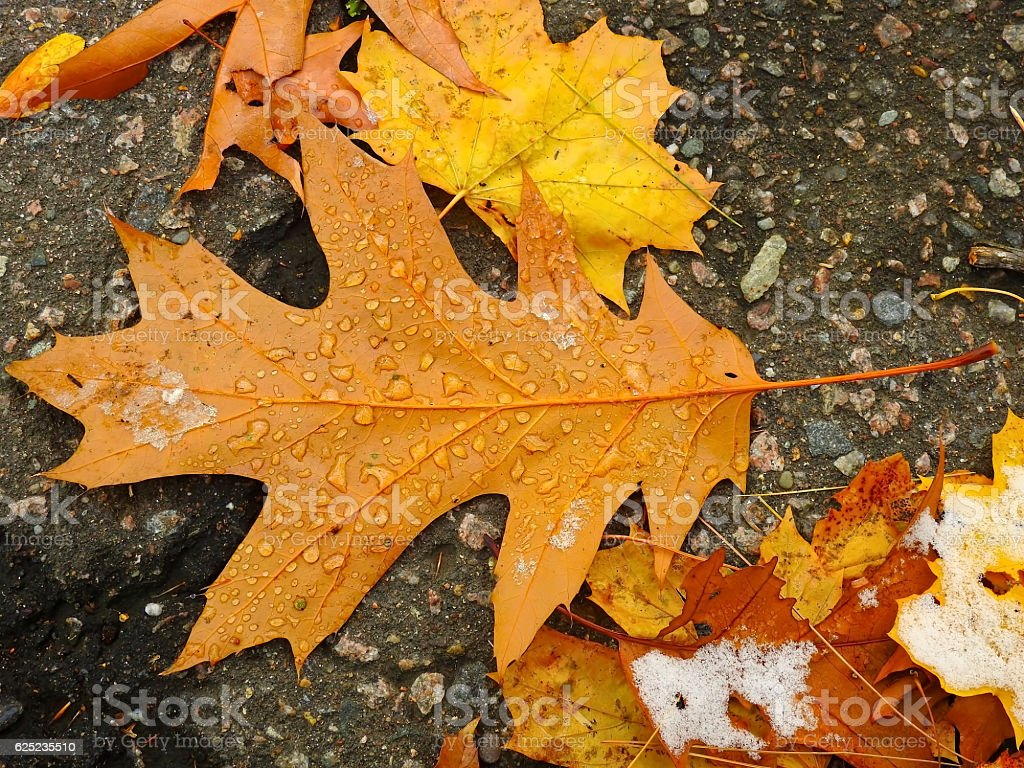 Leaves Kissed by rainy snow stock photo