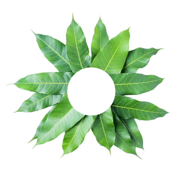 Leaves Mango On White Background Clipping Path Stock Photo