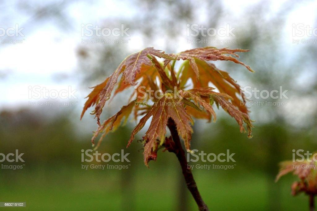 하늘 배경 분기에 캐나다 메이플 부드러운 붉은 색의 잎 royalty-free 스톡 사진