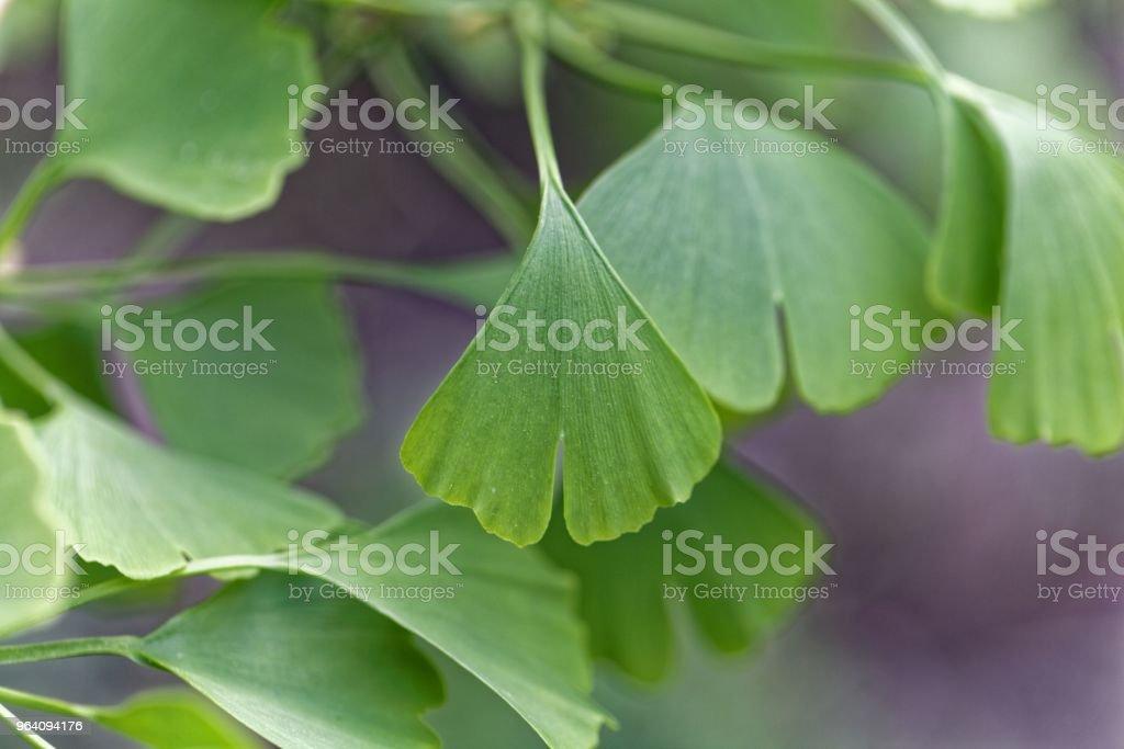 Leaves of a Ginkgo tree - Royalty-free Alternative Medicine Stock Photo