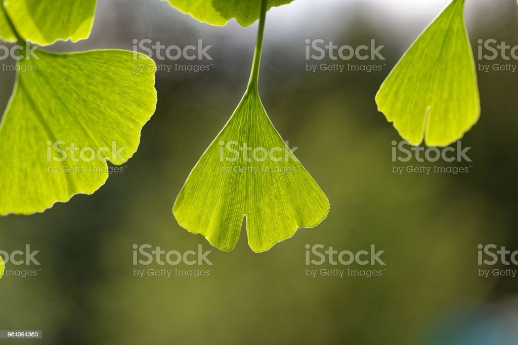 Leaves of a Ginkgo tree - Royalty-free Alternative Medicine Stock Photo