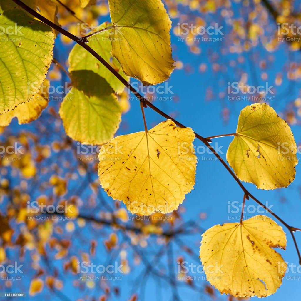 Blätter einer Linde mit Herbstfarbe – Foto