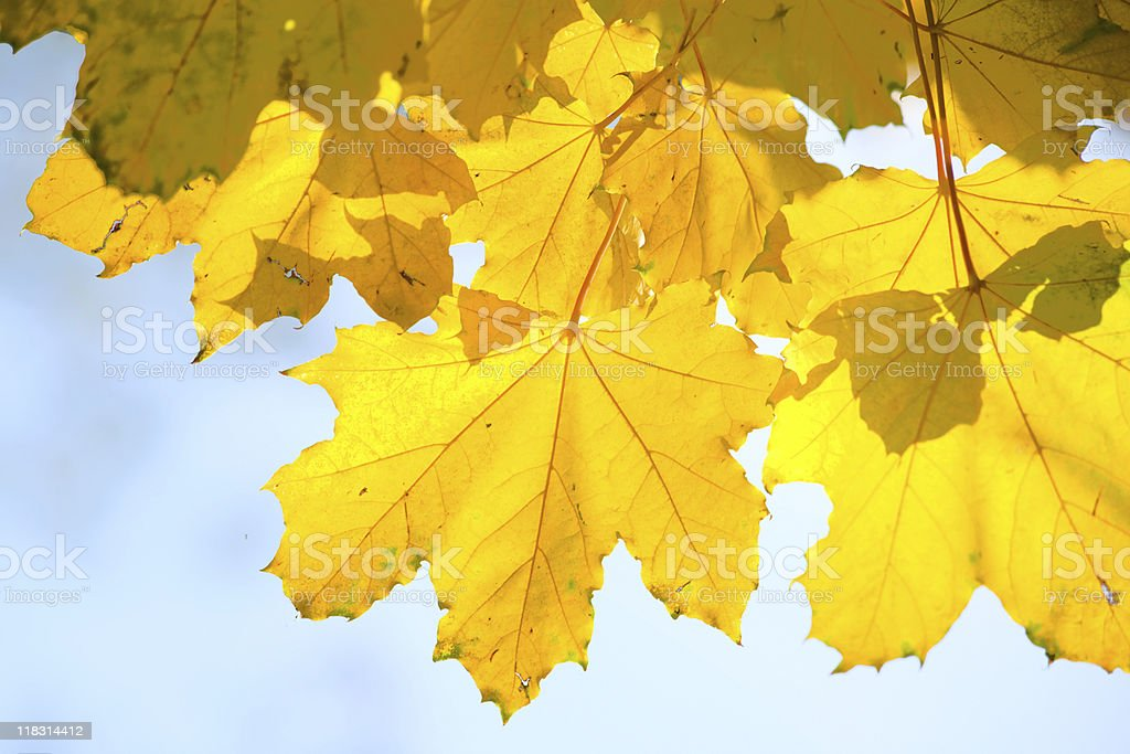 Leaves of a maple stock photo