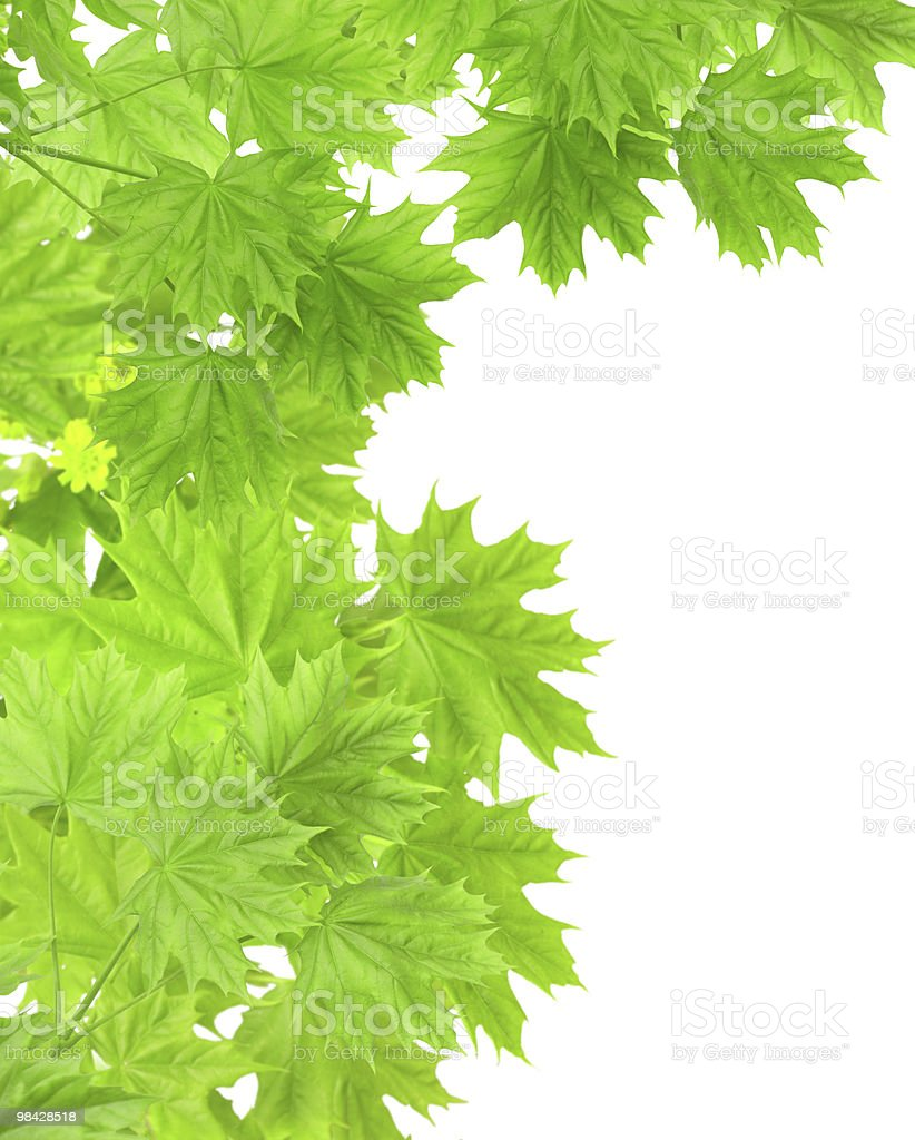 선으로나 단풍 잎 royalty-free 스톡 사진