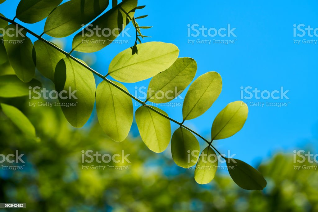Leaves of a robinia stock photo
