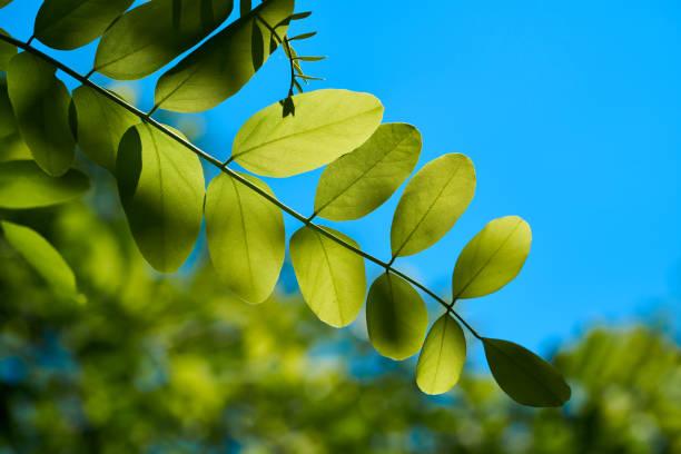 Blätter der eine Robinie – Foto
