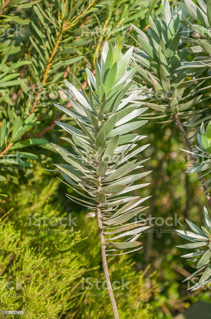 Leaves of a Silver Tree Protea stock photo