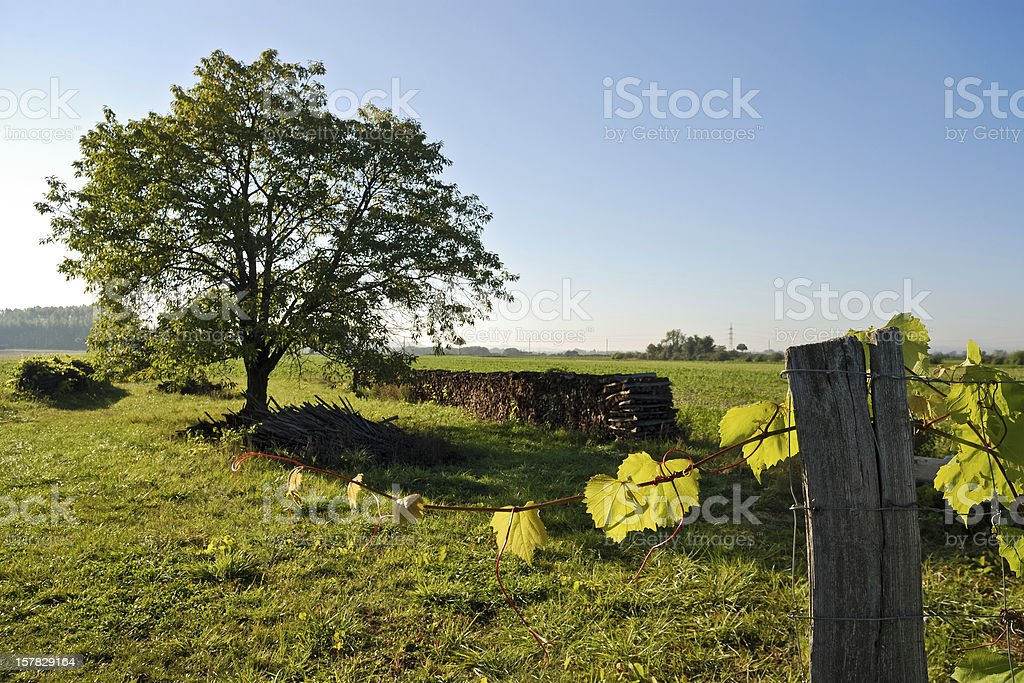 Leaves of a vineyard and  cherry tree royalty-free stock photo