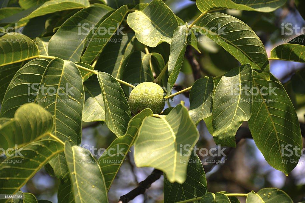 leaves of a walnut tree stock photo