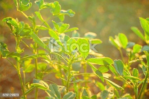 519188550 istock photo Leaves of alfalfa close up. 529129923
