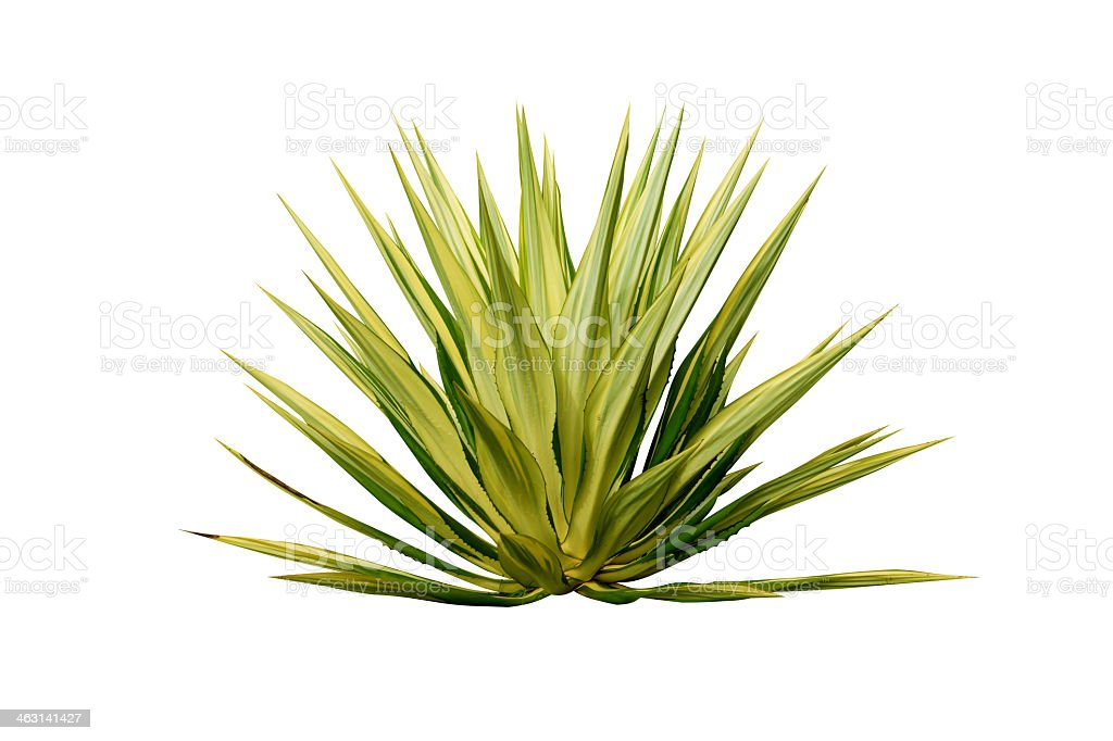 Leaves of an agave plant isolated on a white background stock photo
