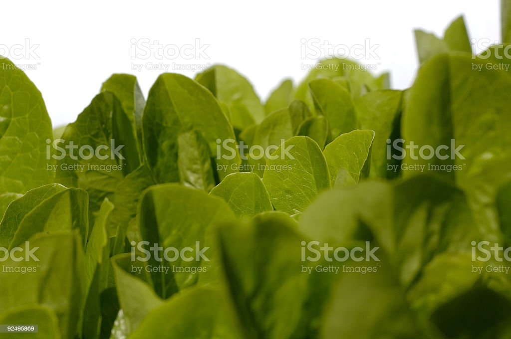 Leaves of Baby Cos Lettuce growing against a white background. royalty-free stock photo