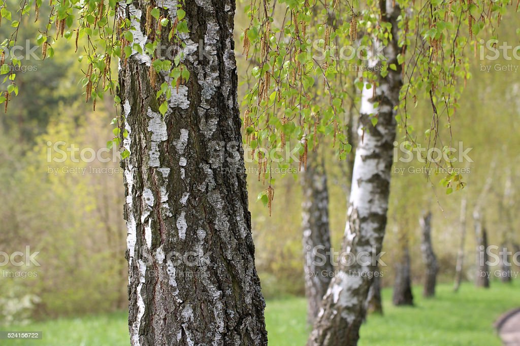 Leaves of birch in forest stock photo