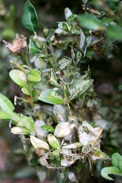 Leaves of Boxwood damaged by caterpillar of Box tree moth stock photo