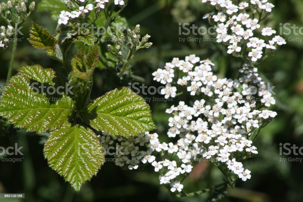Leaves of bramble and yarrow flower stock photo