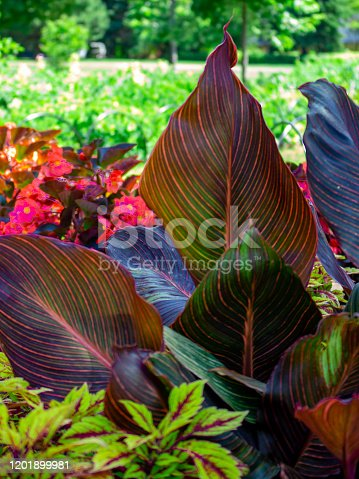 The large leaves of a plant in the genus Canna are seen in the summertime in the outdoor garden of a public park.