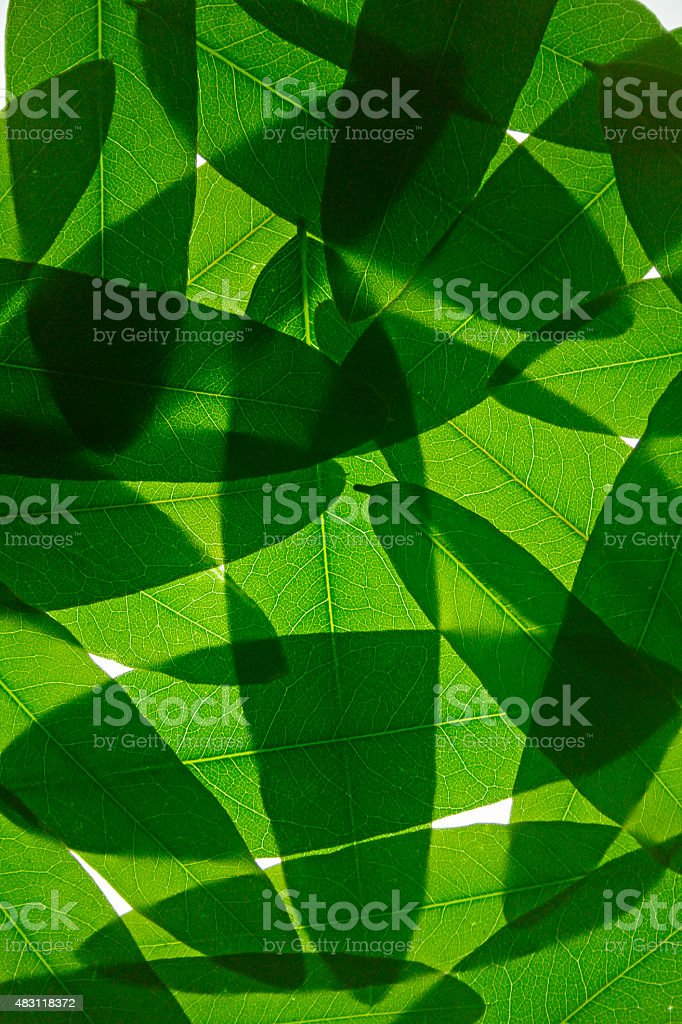 Leaves of Cassia leptophylla Placed together stock photo