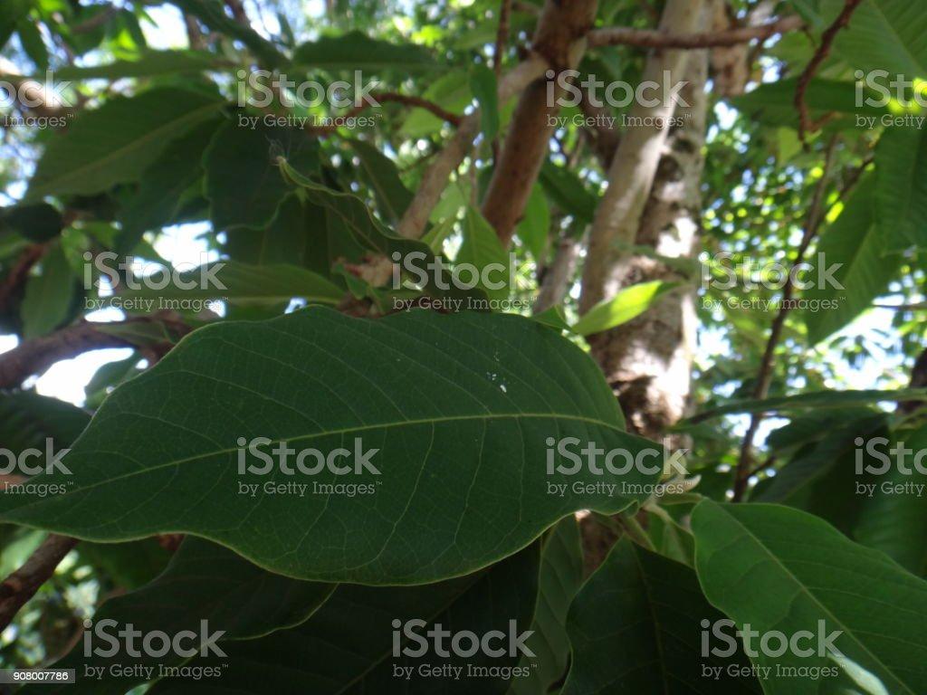 Leaves of champak tree stock photo