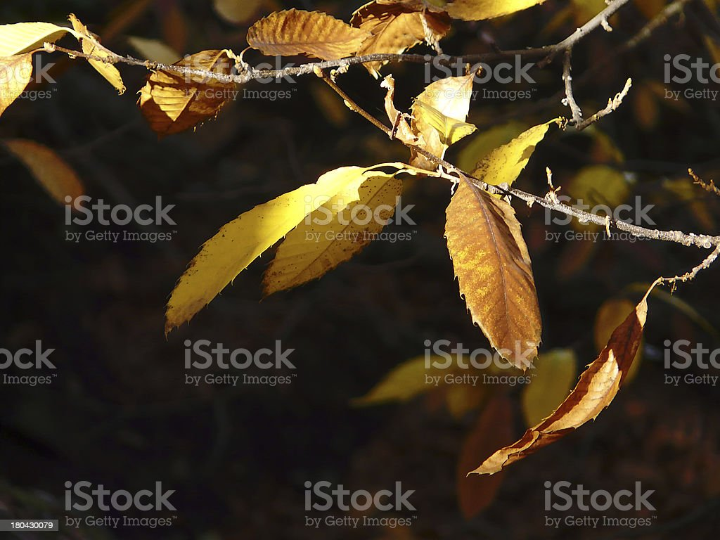Leaves of chestnut. royalty-free stock photo