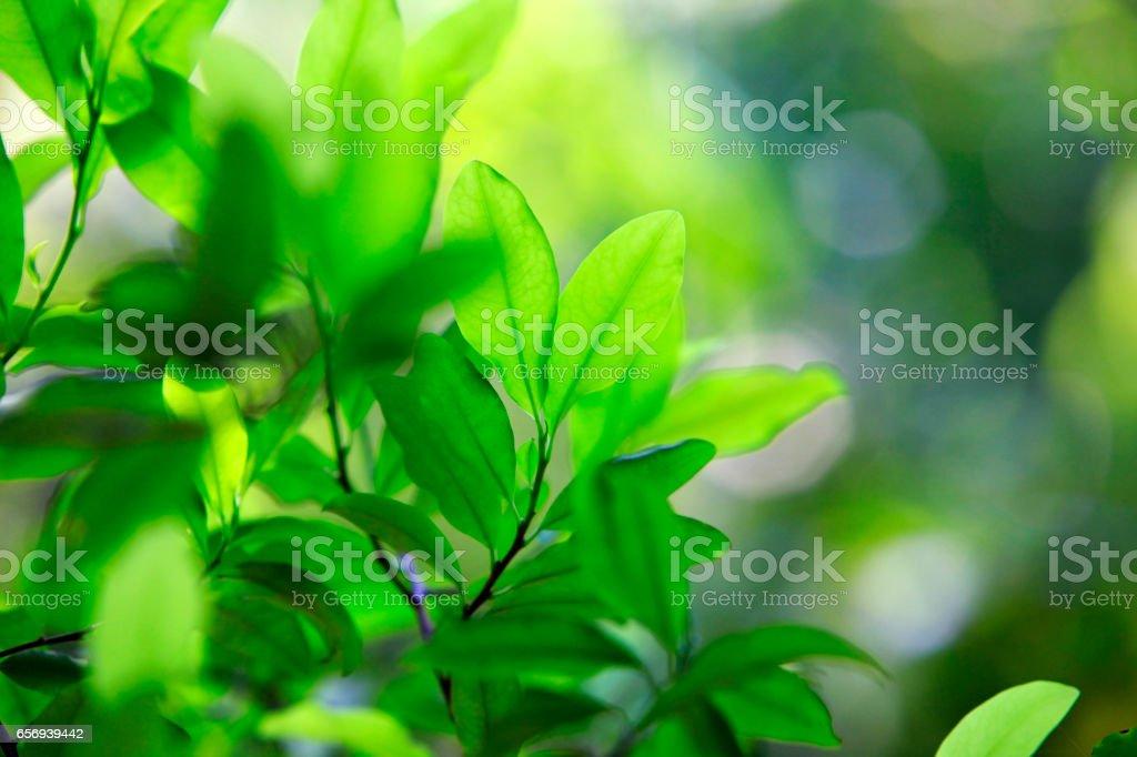 Leaves of coca plant stock photo