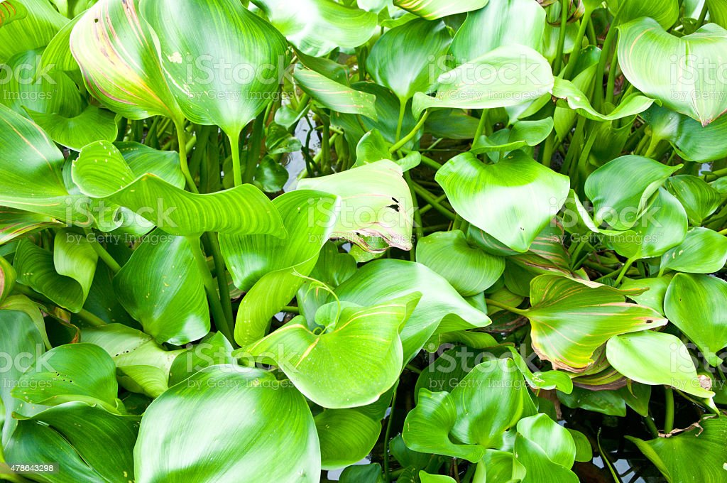 Leaves of Common water hyacinth stock photo