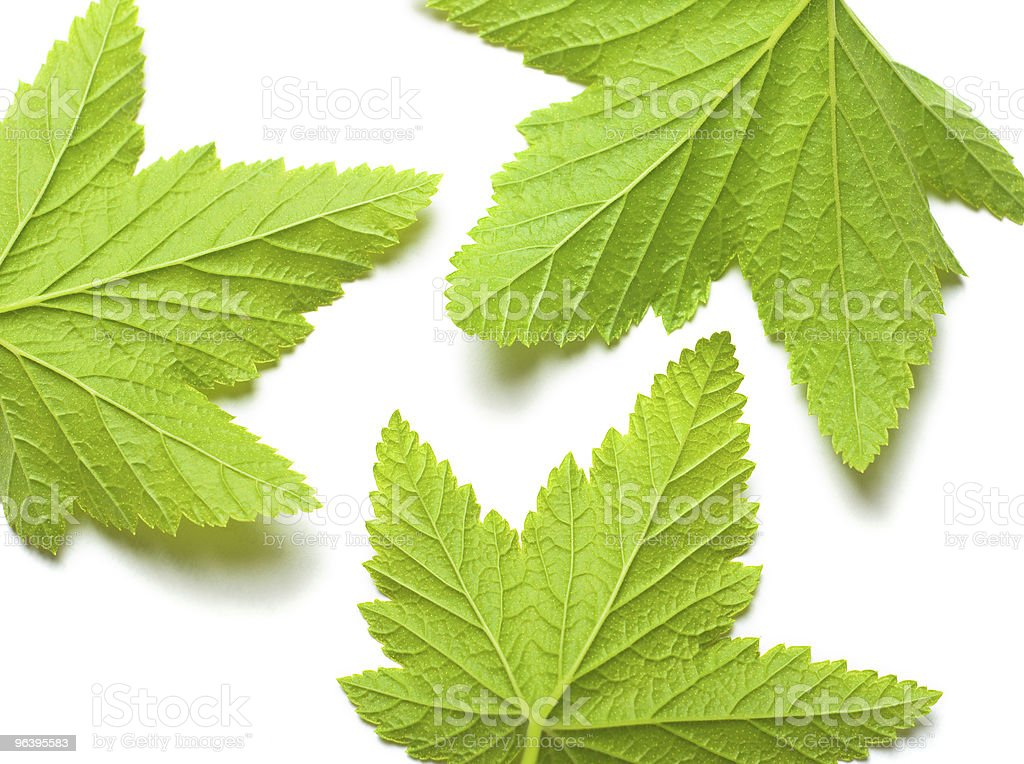 leaves of currants on a white background - Royalty-free Close-up Stock Photo