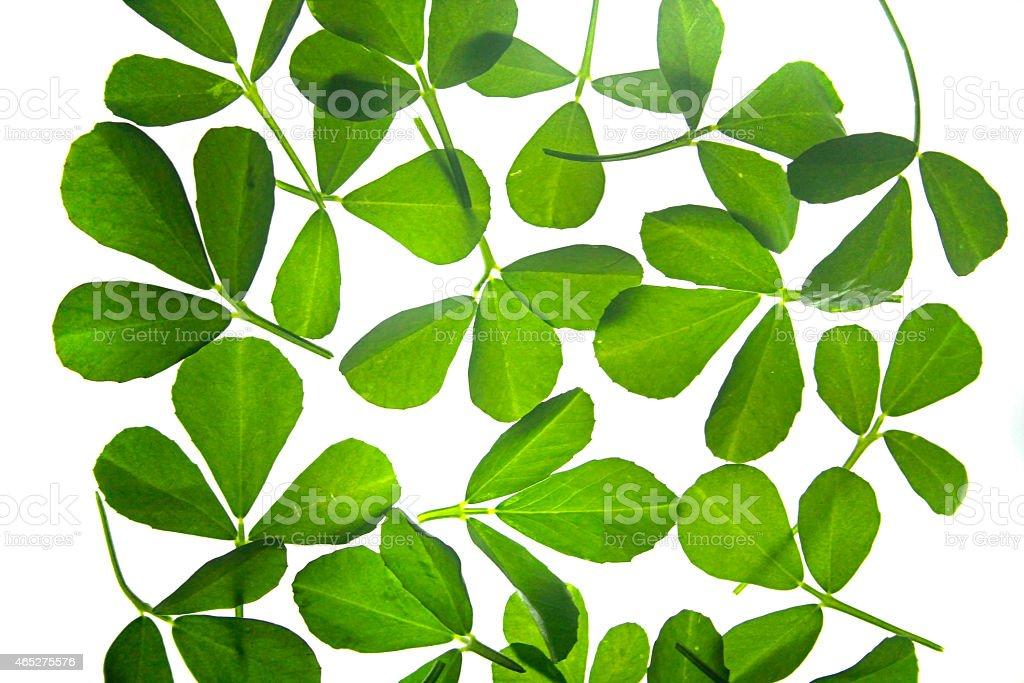 Leaves of Fenugreek, Trigonella Foenum-graecum stock photo