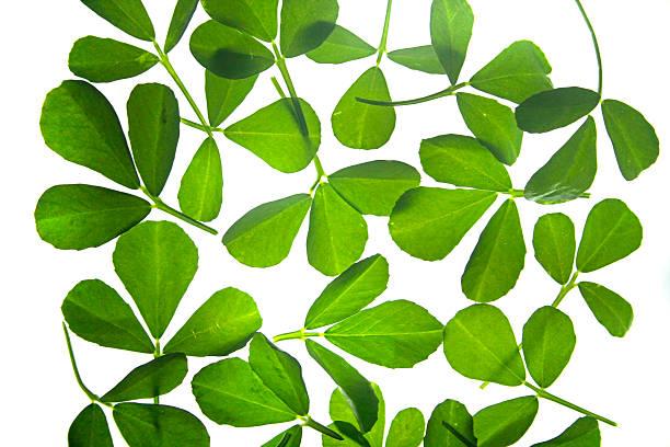 feuilles de fenugrec, trigonella foenum-graecum - fenugrec photos et images de collection