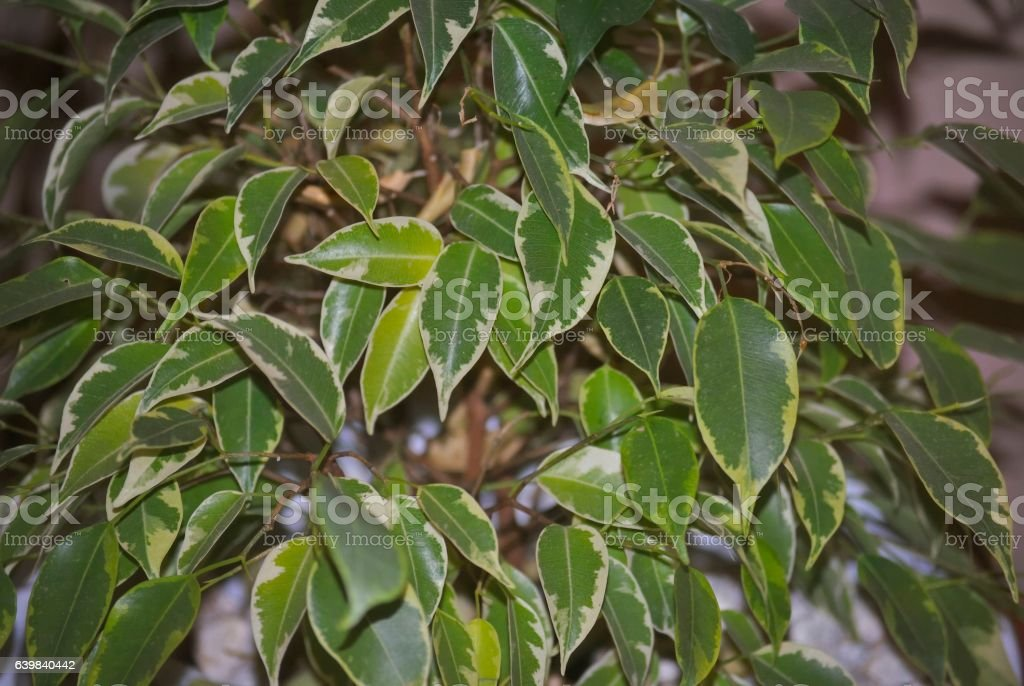 Leaves of Ficus benjamina - foto de acervo